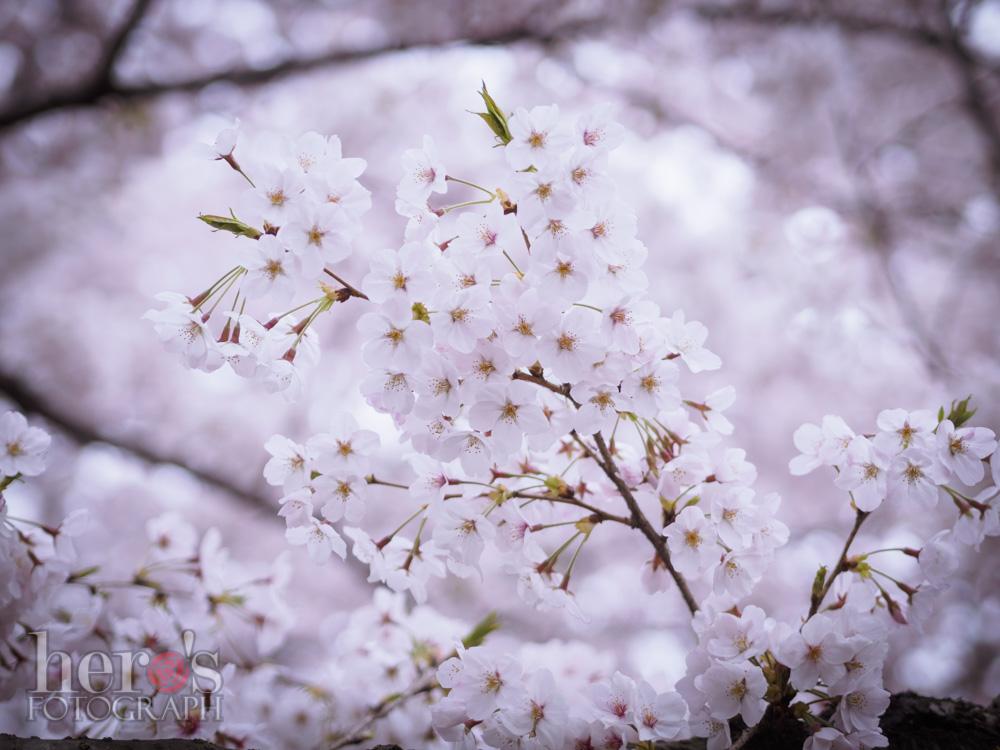 善福寺川_桜_03
