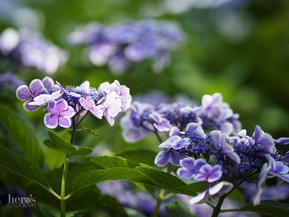 額紫陽花_12