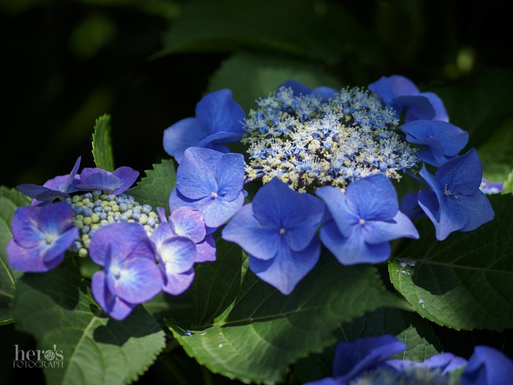 額紫陽花_07