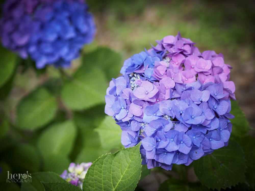 紫陽花_14